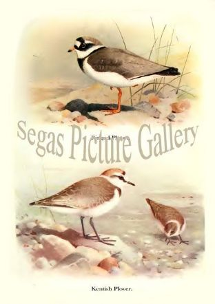 Ringed Plover & Kentish Plover